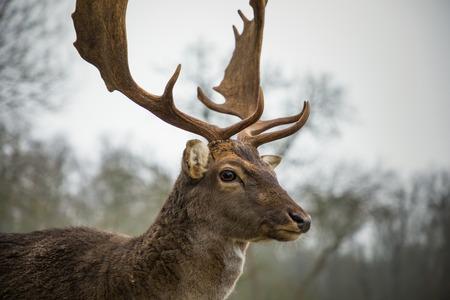 Männliche Damhirsche im Wald, wild lebende Tiere in Europa Standard-Bild
