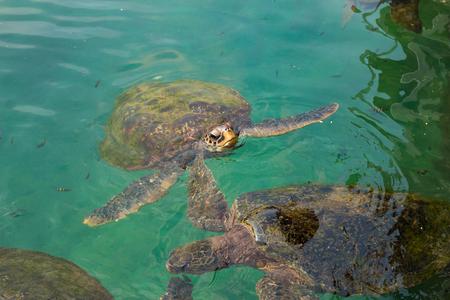 Old green turtles swimming in sea