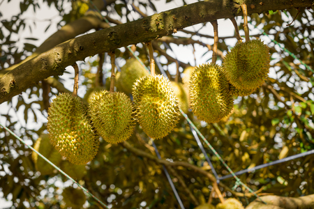 Durian trees with tropical fruits in Samui