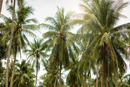 Coconat Palm Tree as natural background