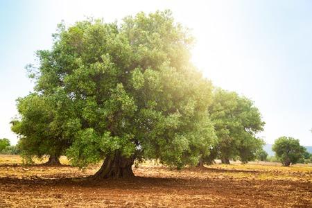 Olijfplantage met oude olijfboom in de regio Apulië in Italië Stockfoto - 102702762