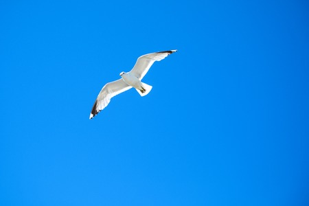 White Seagull flying in the blue clear sky, Norway