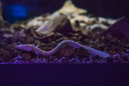 The olm or proteus or Proteus anguinus is an aquatic salamander in the family Proteidae, the only exclusively cave-dwelling chordate species found in Europe, Slovenia