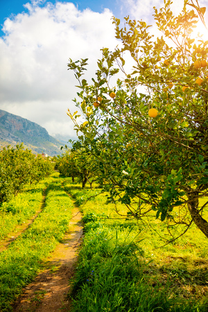 Lemon trees in a citrus grove in Sicily in Italy
