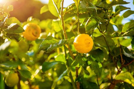 Lemon trees in a citrus grove in Sicily in Italy Foto de archivo - 119249790