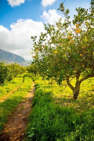 Lemon trees in a citrus grove in Sicily in Italy Foto de archivo - 119250032