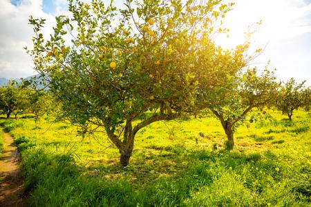 Lemon trees in a citrus grove in Sicily in Italy Foto de archivo - 119250036