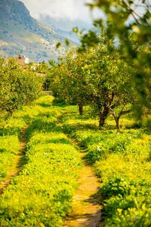 Lemon trees in a citrus grove in Sicily in Italy Foto de archivo - 119250046