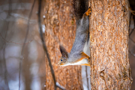 A closeup of a tree squirrel in a grey winter coat in Siberia, Russia Foto de archivo - 121435508