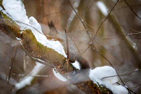 A closeup of a tree squirrel in a grey winter coat in Siberia, Russia Foto de archivo - 121435510