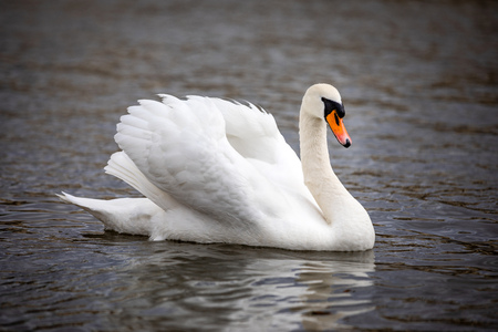 A beautiful white swan swimming on river Vltava in Prague, Czech republic Foto de archivo - 121435698
