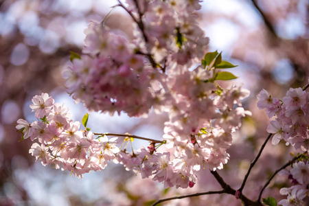 Pink sakura flowers with clear blue sky on background. Blooming cherry tree or East Asian cherry in Spring in Prague, Czech Republic Foto de archivo - 121435861