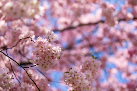 Pink sakura flowers with clear blue sky on background. Blooming cherry tree or East Asian cherry in Spring in Prague, Czech Republic Foto de archivo - 121435862