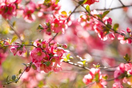 Cherry pink blossom in spring park of Prague in Czech republic Foto de archivo - 121435926