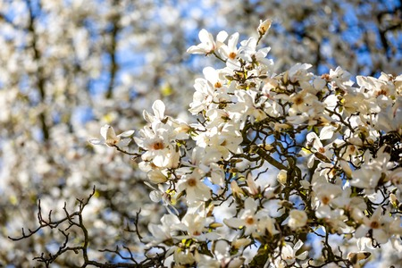 Blooming branches of White Magnolia flowers against blue sky in spring Prague, Czech republic Foto de archivo - 121435930