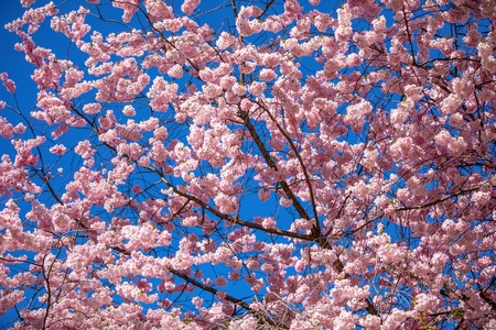 Pink sakura flowers with clear blue sky on background. Blooming cherry tree or East Asian cherry in Spring in Prague, Czech Republic Foto de archivo - 121435931