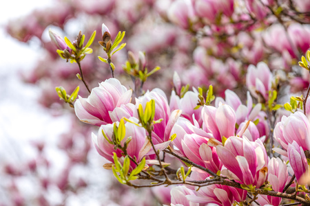 Beautiful Blossom Tree of Magnolia With Pink Flowers in the Park in Spring Prague, Czech republic Foto de archivo - 121436132