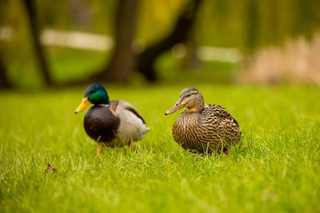 Portrait of wild couple ducks or mallard or Anas platyrhynchos in the city park on the ground grass in Prague, Czech republic