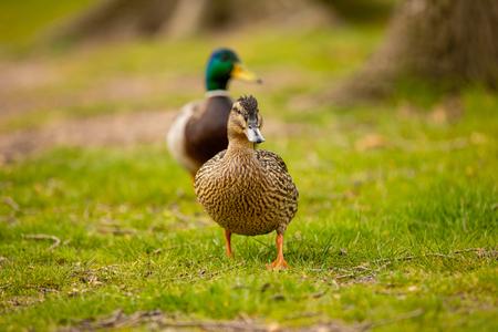 Portrait of wild female duck or mallard or Anas platyrhynchos in the city park on the ground grass in Prague, Czech republic Foto de archivo - 121436136