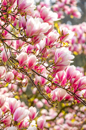 Beautiful Blossom Tree of Magnolia With Pink Flowers in the Park in Spring Prague, Czech republic Foto de archivo - 121436139