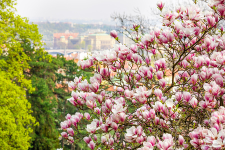Beautiful Blossom Tree of Magnolia With Pink Flowers in the Park in Spring Prague, Czech republic Foto de archivo - 121436143