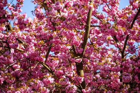 Pink sakura flowers with clear blue sky on background. Blooming cherry tree or East Asian cherry in Spring in Prague, Czech Republic Foto de archivo - 122019591