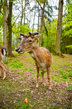 Deer on territory of medieval castle Blatna in spring time in Czech Republic