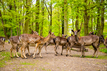 Deers on territory of medieval castle Blatna in spring time in Czech Republic