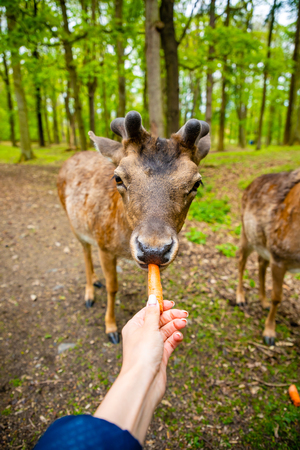 The hands of a young girl feed by an carrota deer in the beautiful park of the Blatna castle in Czech Republic Stock Photo