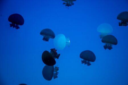 A lot of beautiful jellyfish or meduses in the neon light in aquarium in new opened Prague medusarium in Czech Republic 版權商用圖片