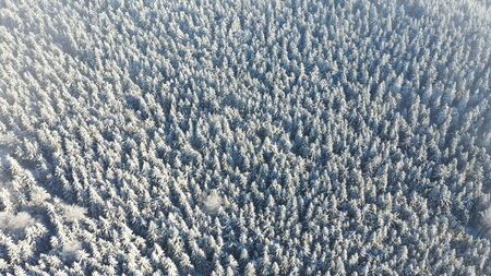 Aerial view of white spruce trees covered in fresh snow on sunny winter day in mountain next to Liberec, Czech Republic