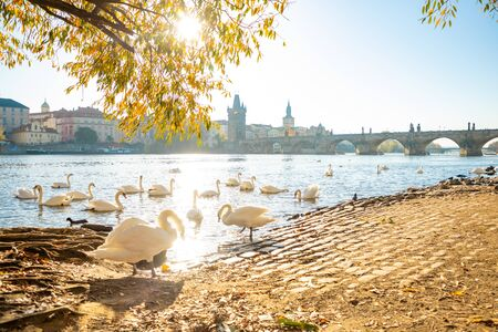 View on Charles bridge and Swans on Vltava river in Prague at dawn in Czech Republic