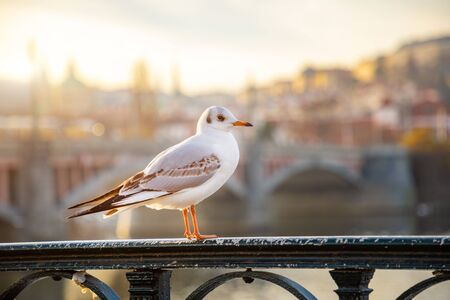 Seagull chiling among Prague castle, sunset sky and river Vltava in Prague in Czech republic