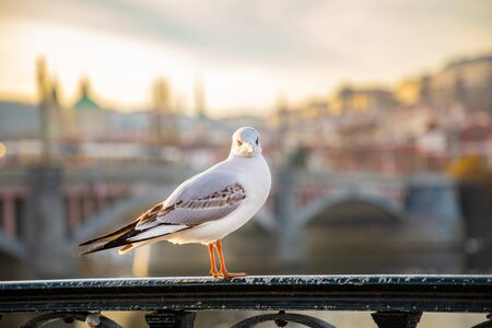 Seagull chiling among Prague castle, sunset sky and river Vltava in Prague in Czech republic 版權商用圖片 - 138224076