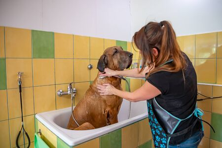 A dog breed fila brasileiro taking a shower with soap and water in saloon