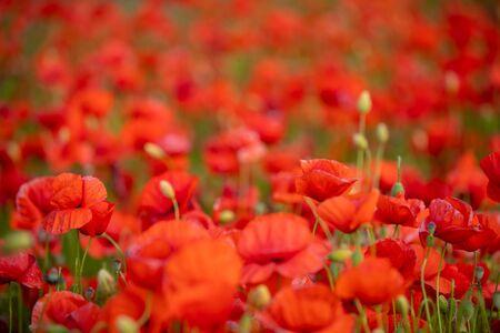 Field of Poppy Flowers blooming in Spring in Czech republic Фото со стока