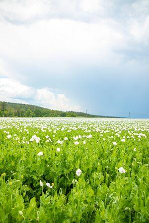 Beautiful field of white poppys in full bloom in Czech Republic