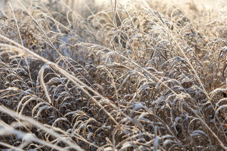 White sparkling frost of ice adorns the branches of dry grass in winter during sunrise in Siberia, Russia