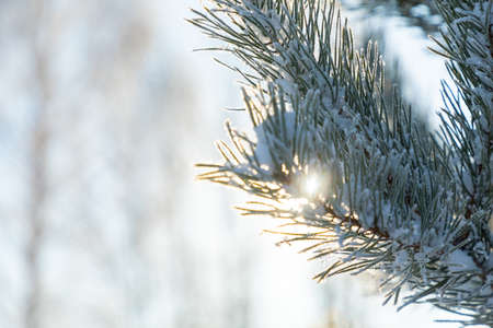 Pine branches covered with hoarfrost in winter during sunrise in Siberia, Russia