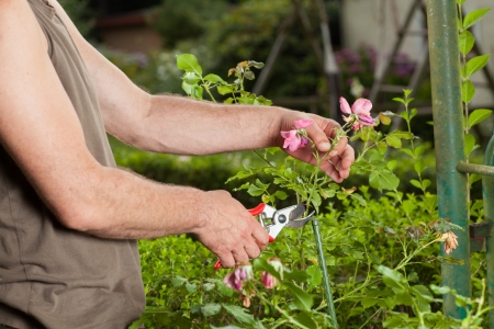 A Gardener is cutting a flower. 版權商用圖片