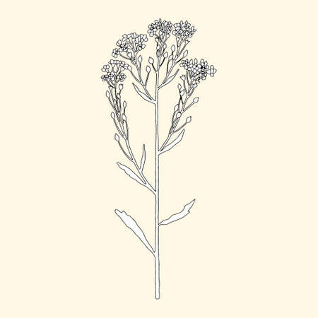 Monochrome blooming horseradish on a yellowish background. Can be used for postcards, invitations, advertising, web, textile and other.