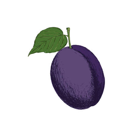 Retro style hand drawn plum. Great for cooking, gardening, farming or agricultural design.