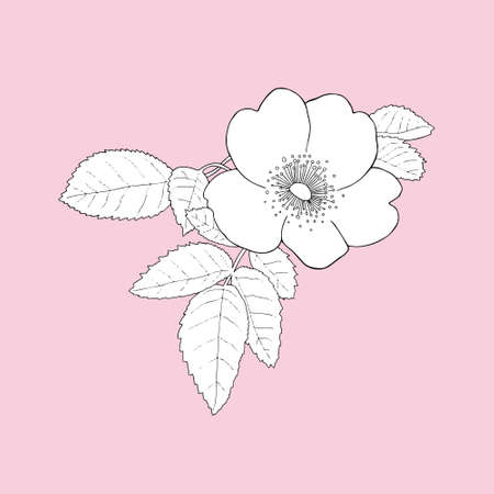Monochrome Rosehips (Rosa rugosa) on a pink background. Can be used for postcards, invitations, advertising, web, textile and other.