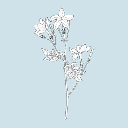 Monochrome Jasmine on a blue background. Can be used for postcards, invitations, advertising, web, textile and other. 向量圖像