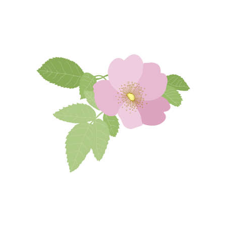 Rosehips bloom (Rosa rugosa) on a white background. Vector floral illustration. Can be used for postcards, invitations, advertising, web, textile and other.