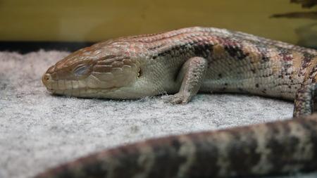 Lizard Reptile Wildlife