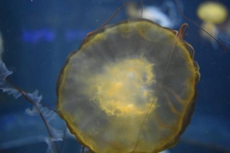 Jellyfish Underwater Marine Life