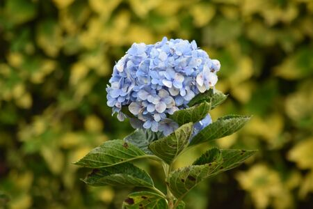 A Natural Blue Flower With Yellow Standard-Bild