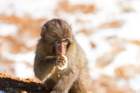 Japanese macaque baby in winter photo