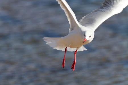 black headed: flying black headed gull Stock Photo